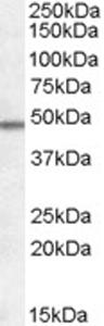 Western blot - Orexin Receptor 1 and 2 antibody (ab77370)