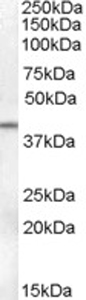 Western blot - SerpinB6 antibody (ab77372)