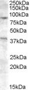 Western blot - Exonuclease 1 antibody (ab77375)