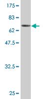 Western blot - Ribonuclease Inhibitor antibody (ab77448)