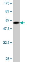 Western blot - Apolipoprotein F antibody (ab77452)