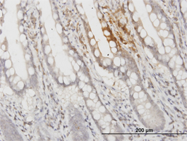 Immunohistochemistry (Formalin/PFA-fixed paraffin-embedded sections) - Apolipoprotein F antibody (ab77452)