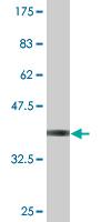 Western blot - eIF4H antibody (ab77455)