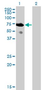Western blot - SH2D3A antibody (ab77469)