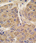Immunohistochemistry (Formalin/PFA-fixed paraffin-embedded sections) - Apolipoprotein CIV antibody - C-terminal (ab77575)