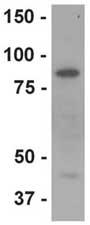 Western blot - Lactoferrin antibody (ab77705)