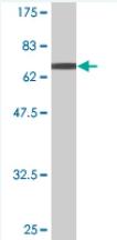 Western blot - TFB1M antibody (ab77729)