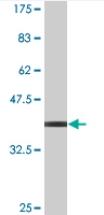 Western blot - APPBP2 antibody (ab77732)