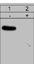 Western blot - N WASP (phospho S484 + S485) antibody (ab77852)