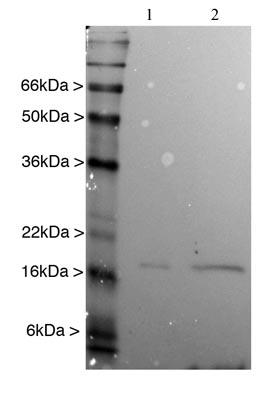 Western blot - Anti-alpha Synuclein antibody [3H9] (ab78155)