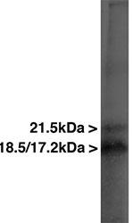 Western blot - Myelin Basic Protein antibody [7G7] (ab78156)