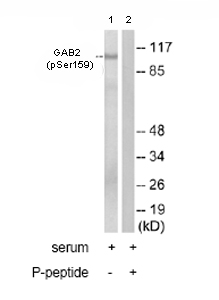 Western blot - GAB2 (phospho S159) antibody (ab78208)