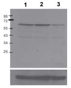 Western blot - c-Myc (phospho S62) antibody [33A12E10] (ab78318)