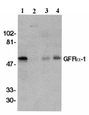 Western blot - GDNF Receptor alpha 1 antibody (ab8026)