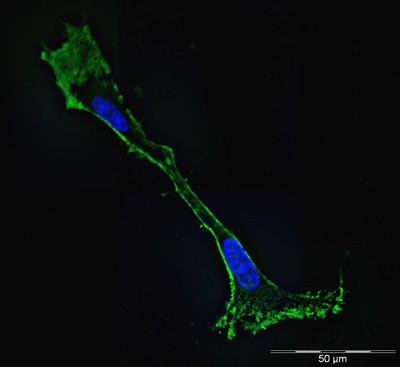 Immunofluorescence - beta Actin antibody [mAbcam 8226] - Loading Control (ab8226)