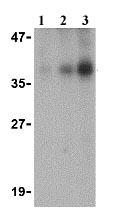 Western blot - DFFB antibody (ab8407)