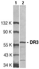 Western blot - DR3 antibody (ab8411)