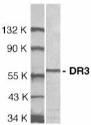 Western blot - DR3 antibody (ab8412)