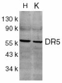 Western blot - DR5 antibody (ab8416)