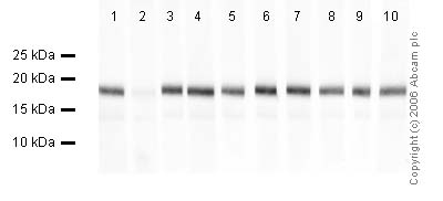 Western blot - Histone H3 (mono methyl K9) antibody - ChIP Grade (ab8896)