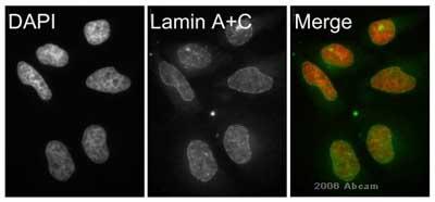 Immunocytochemistry/ Immunofluorescence - Lamin A + C antibody [131C3] - Nuclear Envelope Marker (ab8984)