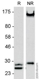 Western blot - Lambda Light chain antibody (HRP) (ab9007)