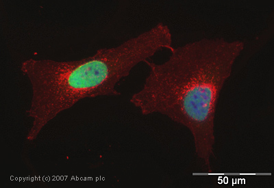 Immunocytochemistry/ Immunofluorescence - Histone H3 (tri methyl K36) antibody - ChIP Grade (ab9050)