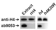 - Histone H4 (tri methyl K20) antibody - ChIP Grade (ab9053)