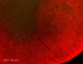 Immunohistochemistry (Frozen sections) - Myelin PLP antibody [plpc 1] - Oligodendrocyte Marker (ab9311)