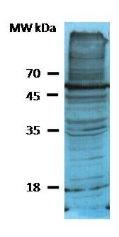 Western blot - Phosphoserine antibody (HRP) (ab9334)