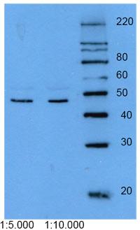 Western blot - Cytokeratin 18 antibody [DEK-18] (ab9387)