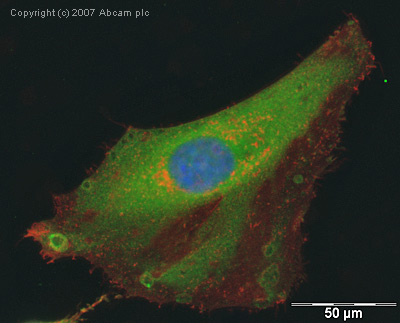 Immunocytochemistry/ Immunofluorescence - GAPDH antibody (ab9485)