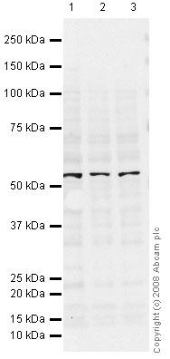 Western blot - ICAM1 antibody [15.2] (ab20)