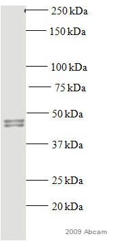 Western blot - Rad51 antibody [14B4] (ab213)