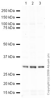 Western blot - PCNA antibody [PC10] - Proliferation Marker (ab29)
