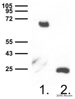 Western blot - Anti-GFP antibody (ab290)
