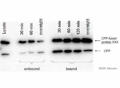 Immunoprecipitation - GFP antibody [LGB-1] (ab291)