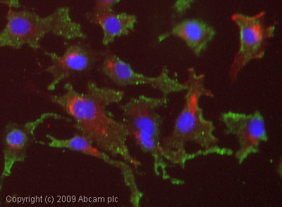 Immunocytochemistry/ Immunofluorescence - Anti-EGFR antibody [EGFR1] (ab30)