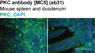 Immunohistochemistry (Frozen sections) - PKC antibody [MC5] (ab31)