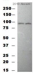 Western blot - Alkaline Phosphatase  antibody (ab354)