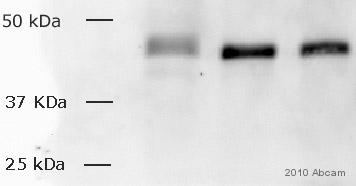 Western blot - c-Fos antibody (ab429)