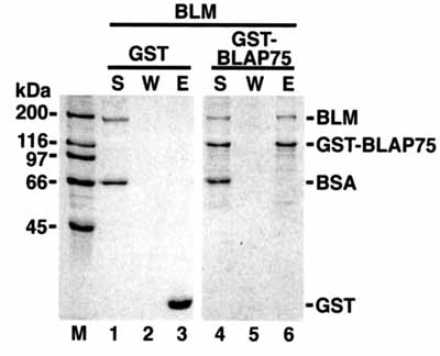 Immunoprecipitation - Blooms Syndrome Protein Blm antibody (ab476)