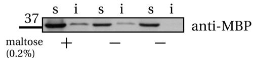 Western blot - Anti-Maltose Binding Protein antibody [R29.6] - ChIP Grade (ab65)