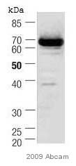 Western blot - COX1 / Cyclooxygenase 1 antibody [5F6/F4] (ab695)