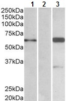 Western blot - Anti-BAI1 associated protein 2 isoform 3 antibody (ab791)