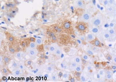 Immunohistochemistry (Formalin/PFA-fixed paraffin-embedded sections)-Plasma Kallikrein 1B antibody [13G11](ab1006)