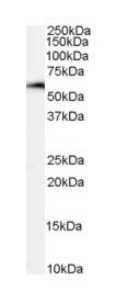 Western blot - NFIL3 antibody (ab1078)