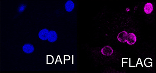 Immunocytochemistry/ Immunofluorescence - Anti-DDDDK tag  antibody (ab1162)