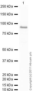 Western blot - Anti-PAK1 antibody (ab1178)