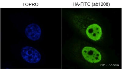 Immunocytochemistry/ Immunofluorescence - HA tag antibody (FITC) (ab1208)